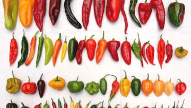 origem das pimentas