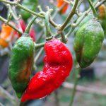 Por que o desafio da pimenta é tão perigoso? [vídeo]