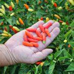 Pimenta TABASCO rende R$2.250,00 / mes para cada 250m² plantados