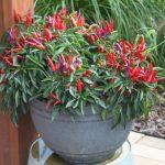 Como plantar pimentas em VASOS dentro de casa