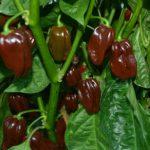 Pimenta CHOCOLATE HABANERO