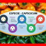 Decifrando a Espécie Capsicum – Entendendo o Mundo das Pimentas