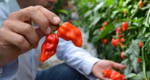 foto de pimenta