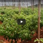 Plantação de CHOCOLATE HABANERO no Paraná